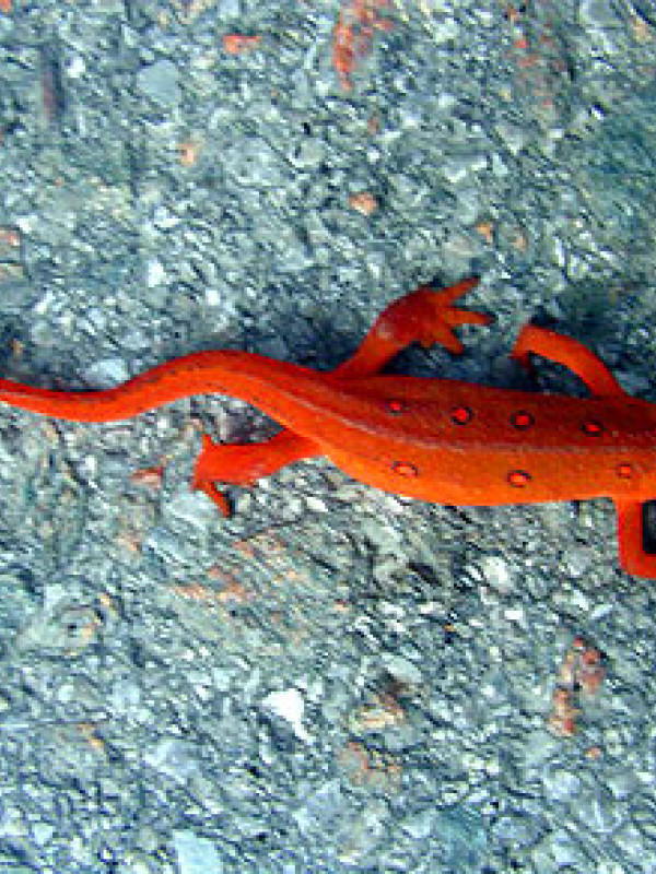 A colorful newt attempting to get run over