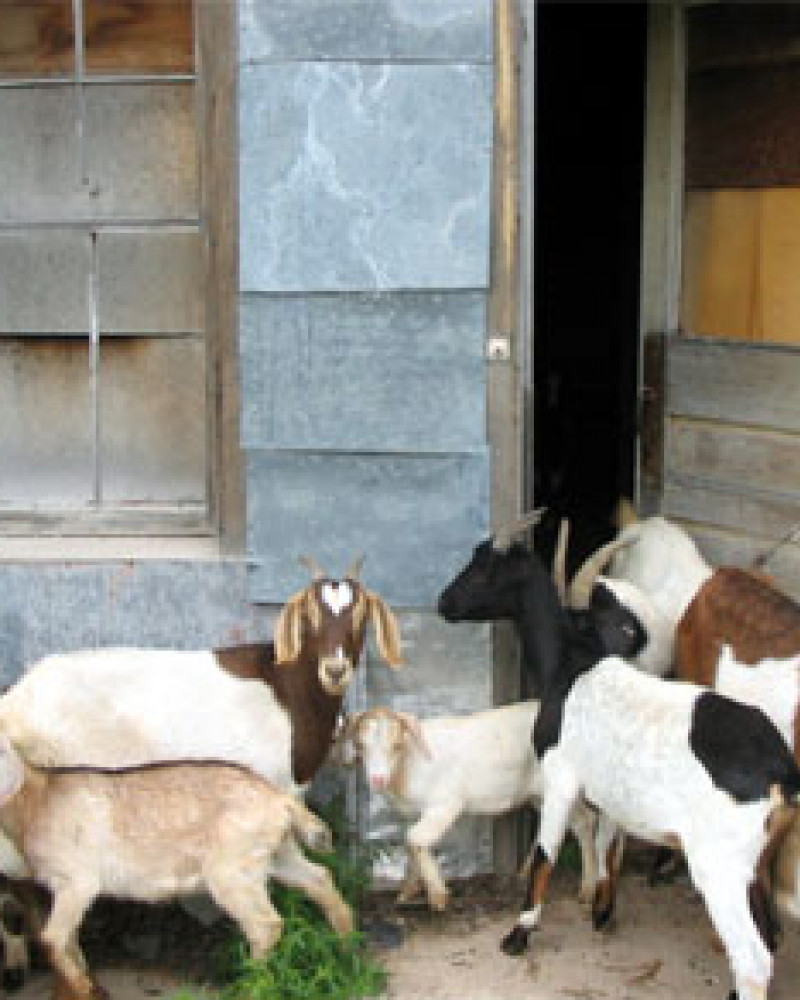 The local goats all hang out here
