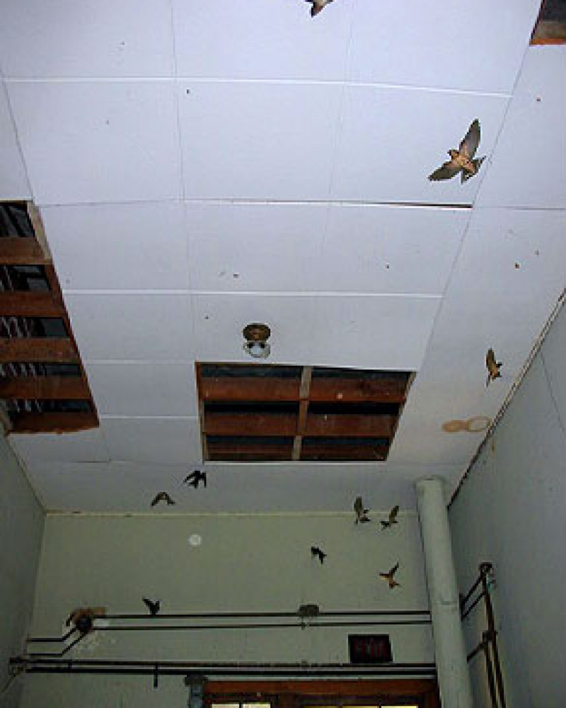 Swallows in the abandoned school