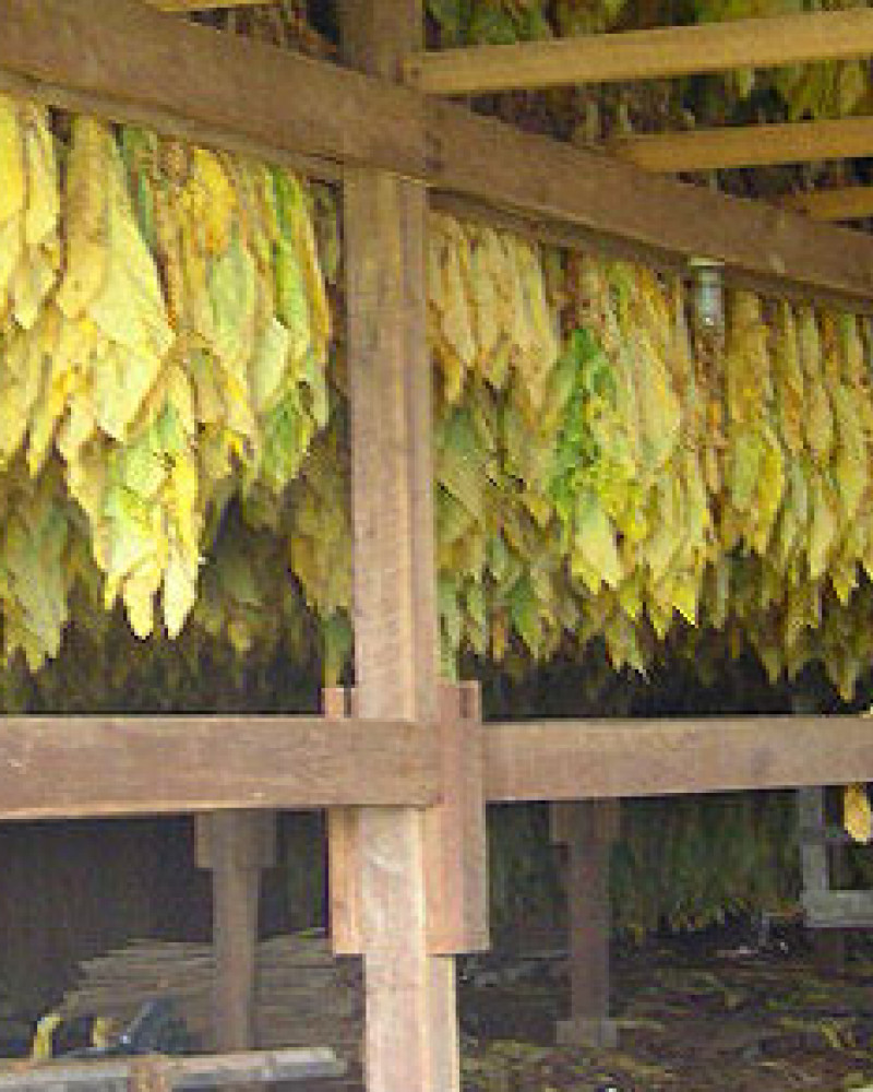 Tobacco drying in a barn