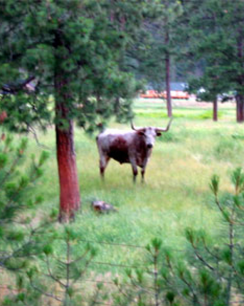 A bull. With horns. Staring at me