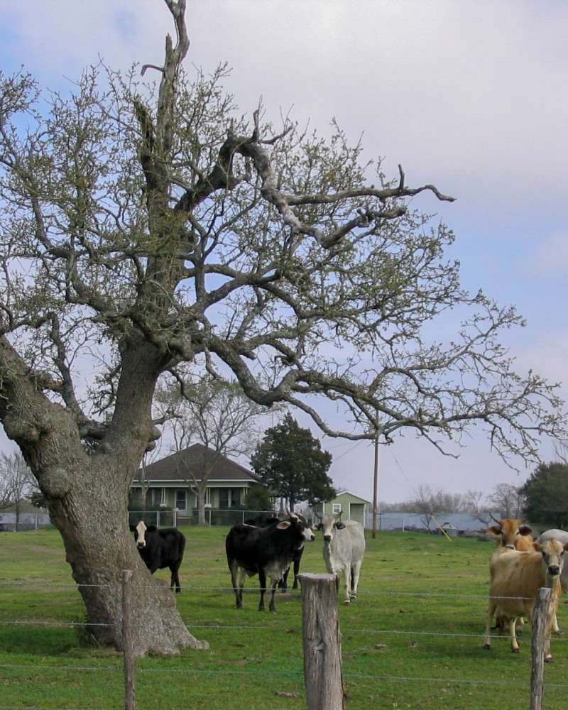 A tree and inquisitive livestock