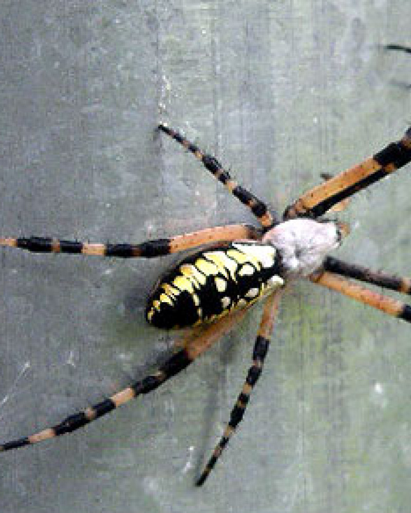 A beautiful striped spider. I hate it
